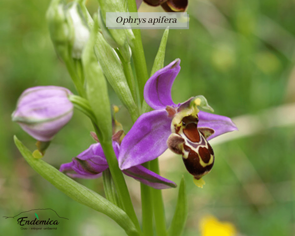 orquiruta endemica ophrys apifera