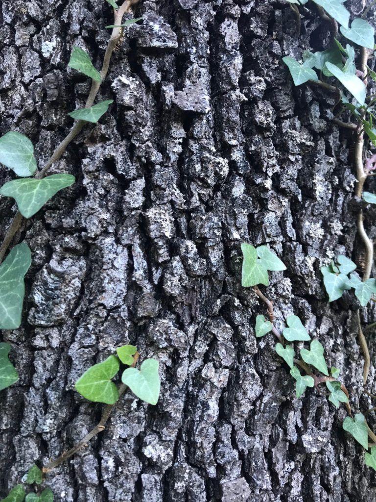 carrasca heura endemica
