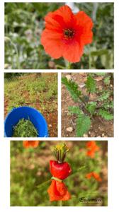 roselles endemicanatura