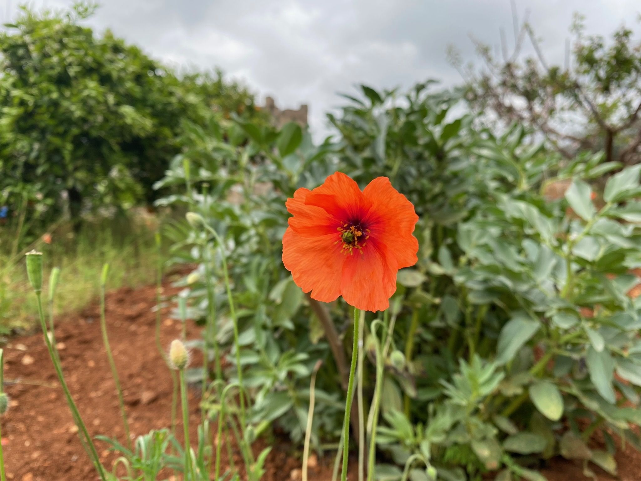 rosella endemicanatura