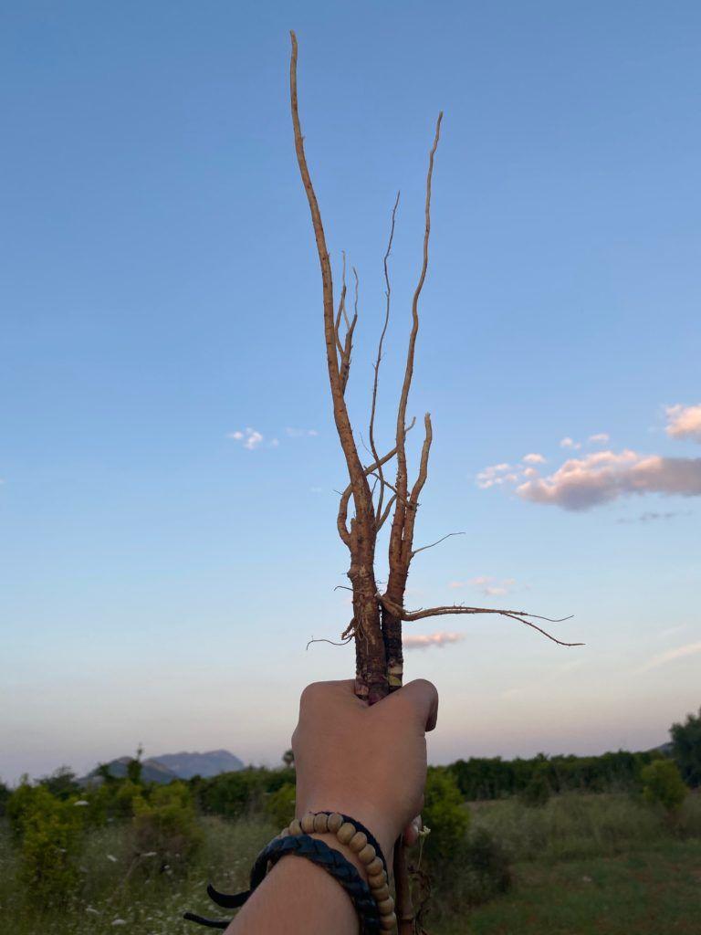 arrels comestibles endemicanatura